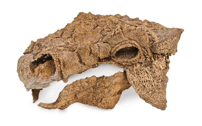 TE-072 Prepared skull