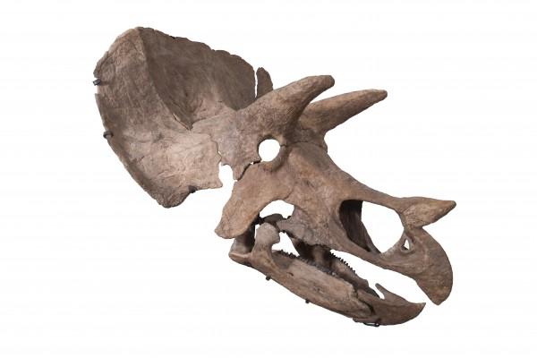 TE-037 Skull (right)