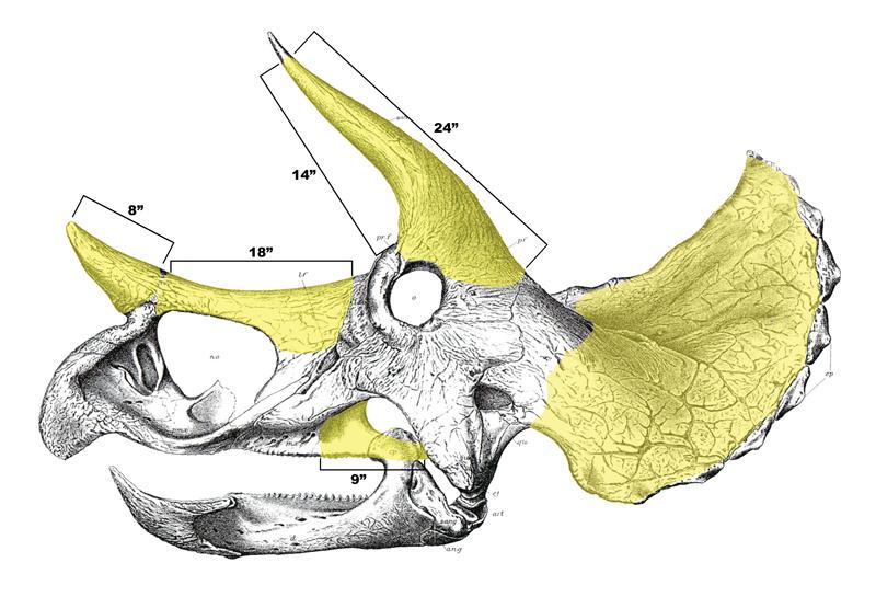 TE-037 Skull osteograph (left)