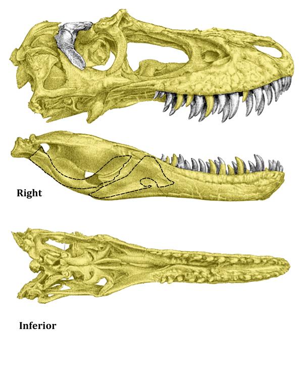 Skull osteograph (right)
